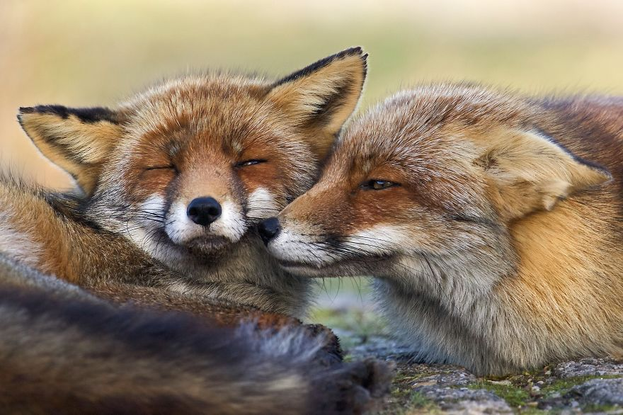 The-Dune-Foxes-of-the-Netherlands-57615a4104363__880
