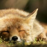 The-Dune-Foxes-of-the-Netherlands-57615b6a46ab9__880