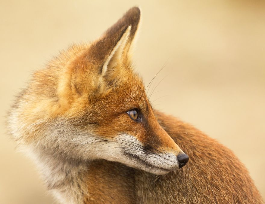 The-Dune-Foxes-of-the-Netherlands-57615ca85f5e0__880