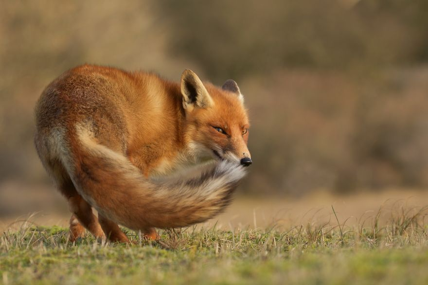 The-Dune-Foxes-of-the-Netherlands-57615df27218e__880
