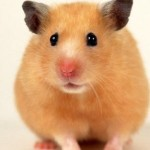 hamster-wallpaper-resolution-1024x768-604views-image-size-172-34k
